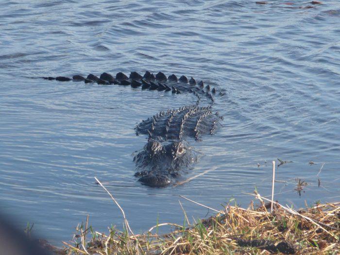 Alligator en approche