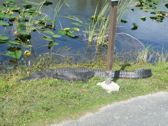 Alligator à Shark Valley