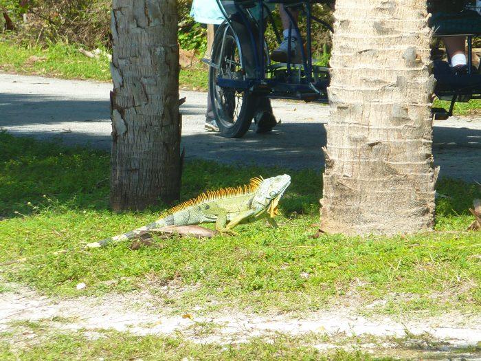 Iguane à Key Biscayne