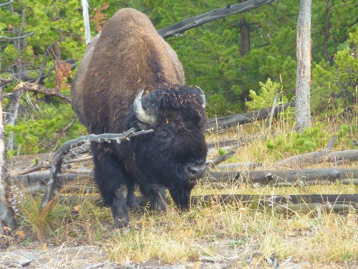 Le premier bison ... d'une longue série