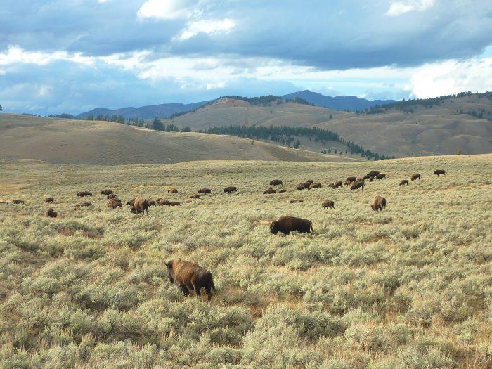 En direction de Yellowstone